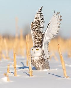 Snowy Owl Launch