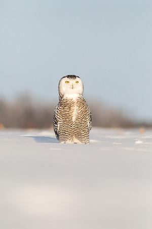 Pinguin Owl