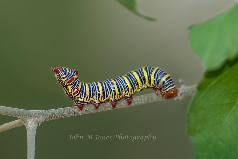 Azalea Moth Caterpillar