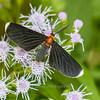 White-tipped Black Moth -  Melanchroia chephise