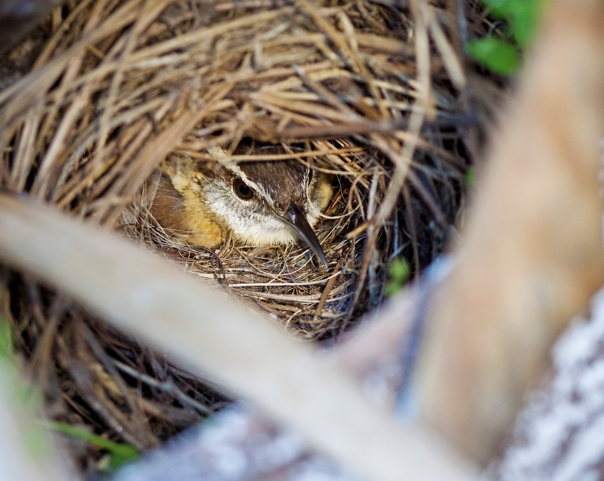 April 25, 2009 - Our other garden nester is a Carolina wren. After numerous attempts by her to build in our living room, I finally moved the big plastic owl into the bookcase, and she got the hint. This nest is right at the edge of a big potted Bird of Paradise. There are  seven eggs so far.