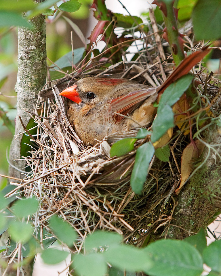 "Cardinal on nest built in the rosebush, ""Mr. Lincoln"" about waist high. As of April 19, she has two eggs."