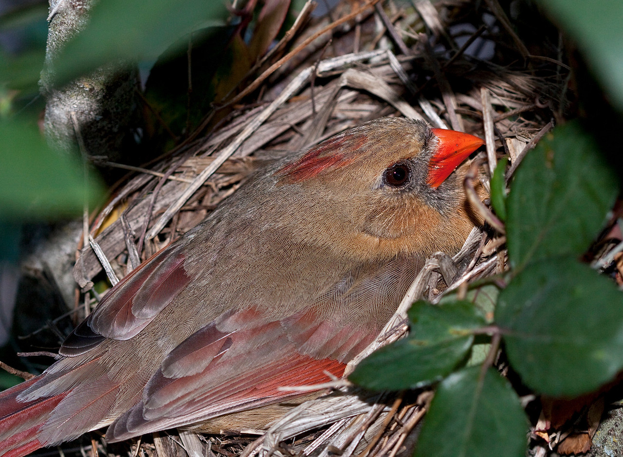 Mother Cardinal is less flighty guarding the chick, than she was just guarding the eggs.