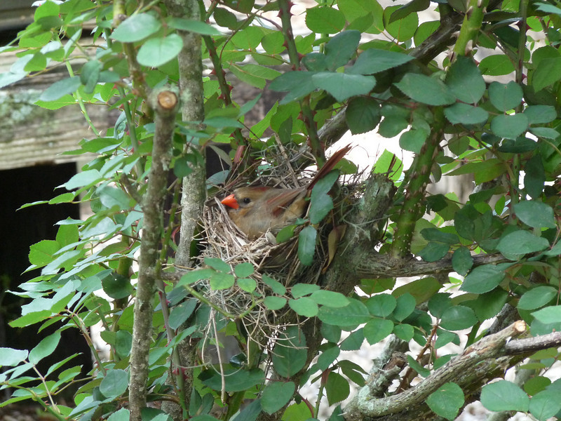 In April, a cardinal once again chose to nest in Mr. Lincoln, our largest rosebush. The nest was about waist high.