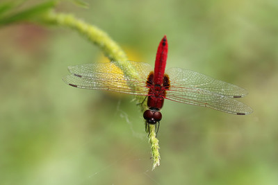 Rhodothemis rufa - Thailand