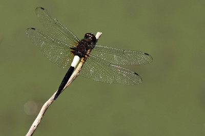 Pseudothemis jorina - Thailand