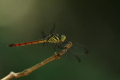 2630_libellulidae