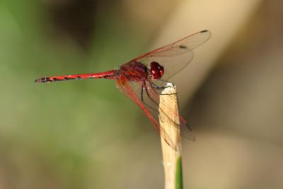 Trithémis écarlate - Trithemis arteriosa - Red-veined Dropwing