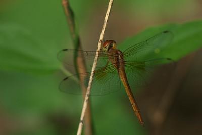 2110_libellulidae