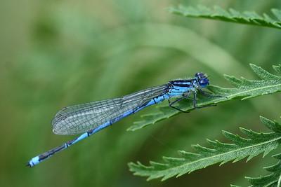 Naïade aux yeux bleus - Erythromma lindenii ♂