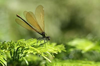 Caloptéryx vierge - Calopteryx virgo