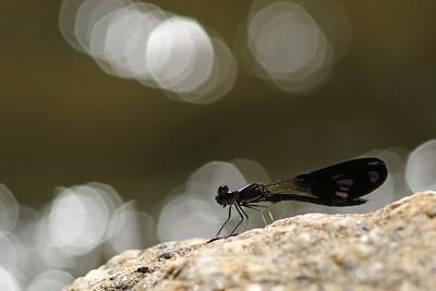2500_chlorocyphidae