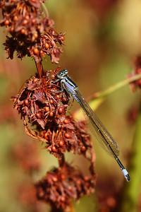 Ischnure élégante - Ischnura elegans
