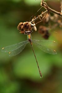 Leste vert - Chalcolestes viridis