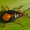 Stink Bug ?
