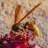 Comanche Paper Wasp