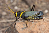 Horse Lubber Grasshopper - Taenipooda eques