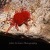 Giant Red Velvet Mite