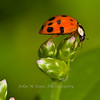 Asian Multicolored Lady Beetle