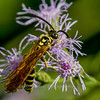 Tiphiid Wasp