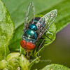 Steelblue Bluebottle Blowfly