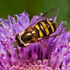 Flower Fly: Wasp Mimic