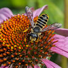 Flower Fly: Yellowjacket mimic