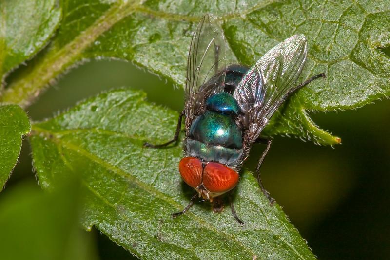 Steelblue Bluebottle Blowfly
