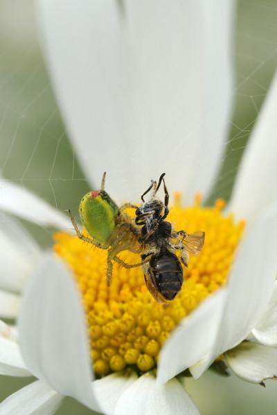 Araignée courge - Araniella cucurbitina