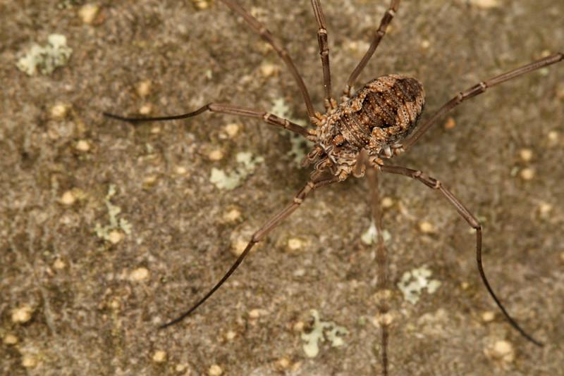 4336_phalangiidae