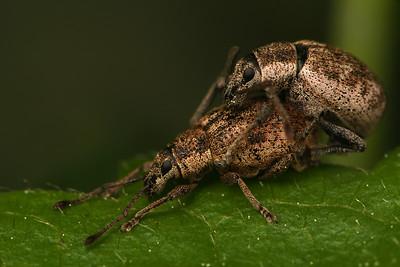 6496_curculionidae
