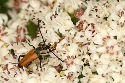 Cerambycidae sp.