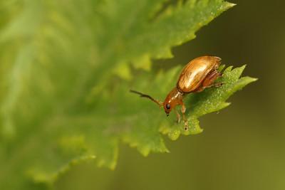 3696_coleoptera
