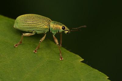4460_curculionidae