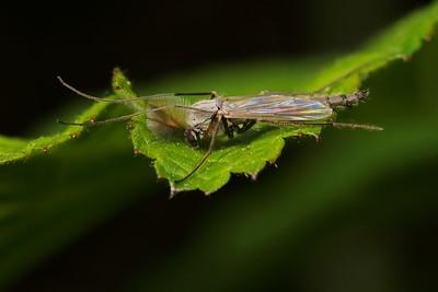 1552_2_chironomidae