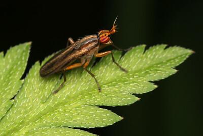 5124_sciomyzidae