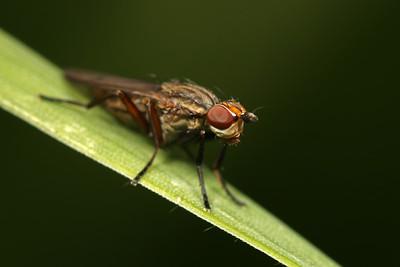 2517_heleomyzidae