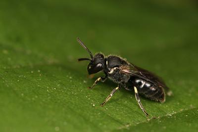 1438_halictidae