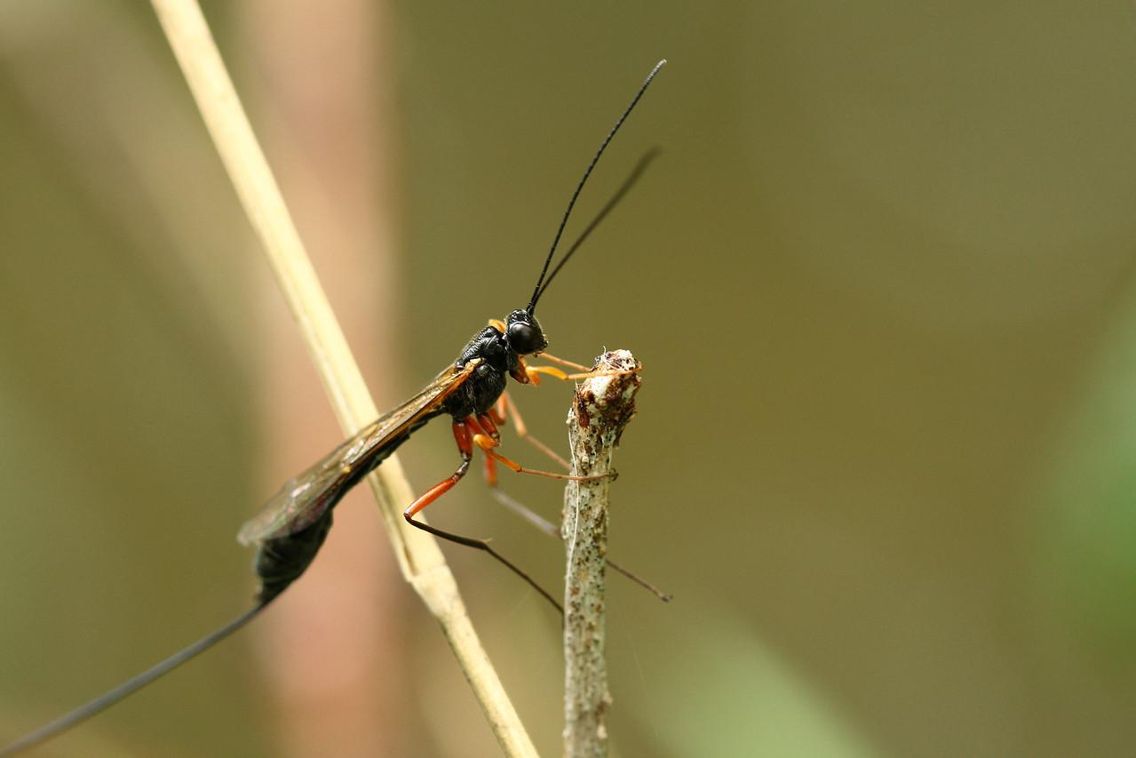 0258_inchneumonidae