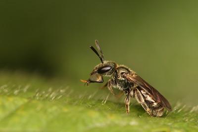 1717_halictidae