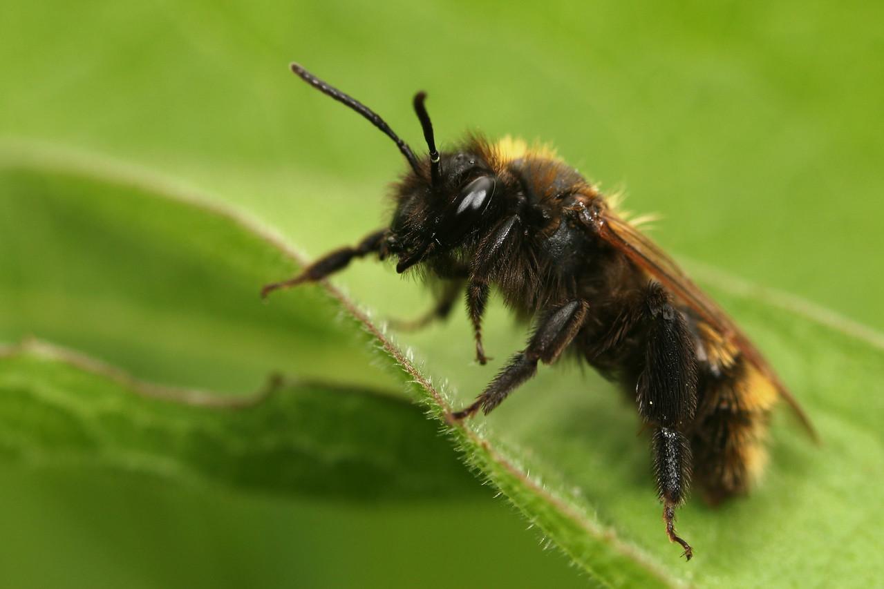 Megachilidae sp.