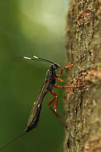 0481_ichneumonidae