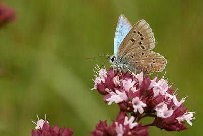 2103_lycaenidae