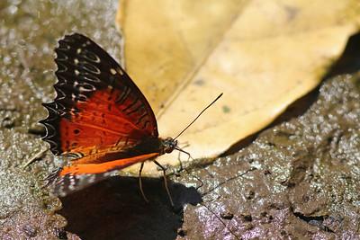 Cethosia biblis - Thailand