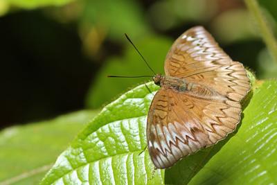 Tanaecia sp. ? - Thailand