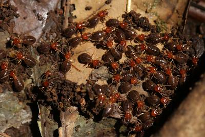 1113_termites