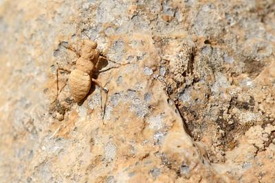 Eremiaphila sp.