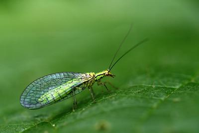 5245_Hypochrysa elegans