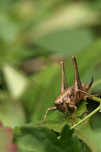 2823_Pholidoptera_griseoaptera