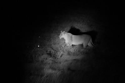 Lion - Panthera leo Etosha NP, Namibia